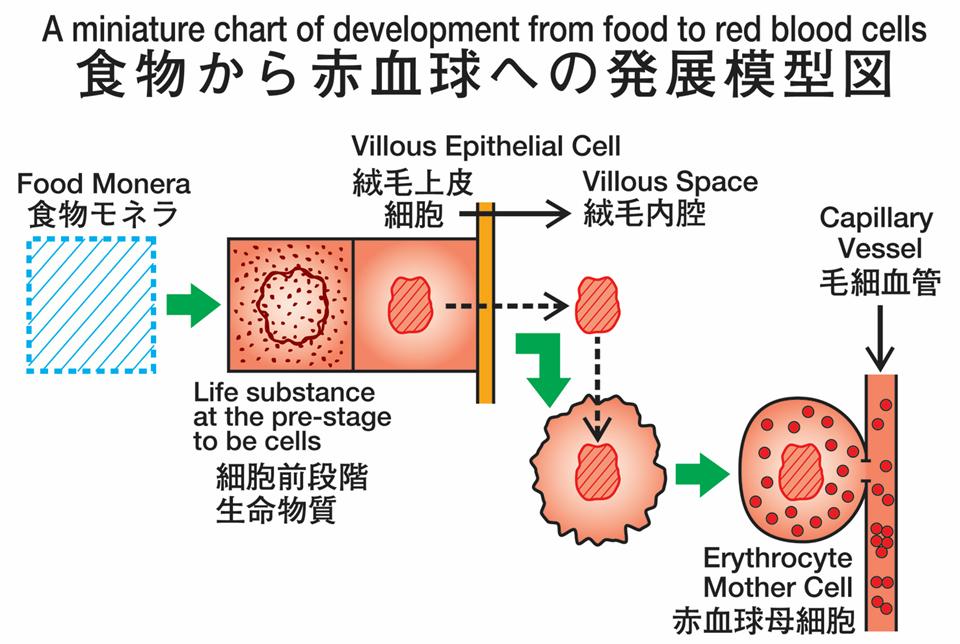 「腸管造血」発展模型図(森下) (1)